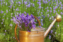 Lavender in a copper Watering Can Royalty Free Stock Images