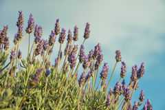 Lavender with Copy Space Stock Image