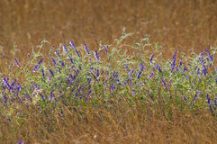 Lavender in cornfield grainfiled Royalty Free Stock Photo