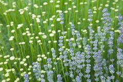 Lavender and cotton lavender Royalty Free Stock Image