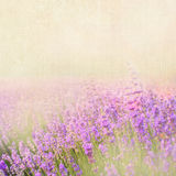 Lavender cotton. Stock Photos