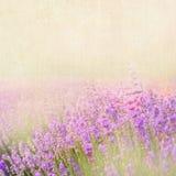 Lavender cotton. stock photos