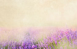 Lavender cotton. Royalty Free Stock Photos