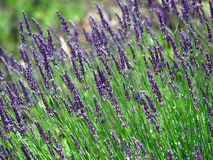 Lavender cultivated field in Provence Royalty Free Stock Photos