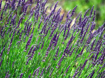 Lavender cultivated field in Provence Stock Photos