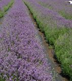 Lavender culture. In the south of Sweden Royalty Free Stock Images