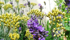 Lavender & Curry. Curry, plant, herb, garden royalty free stock photography