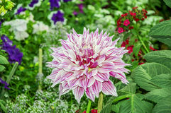 Lavender dahlia flower Royalty Free Stock Images
