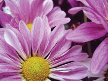Lavender daisies Stock Photography