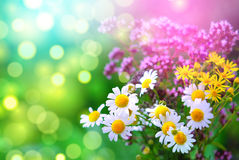 Lavender and daisies in a pretty spring garden. Stock Photo