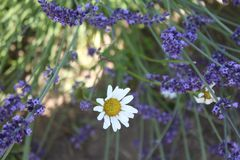 Lavender and Daisy. Lavender daisy flower nature plant purple stock photos
