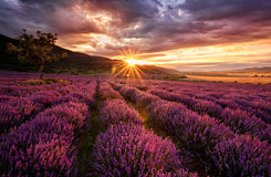 Lavender dawn. Stunning landscape with lavender field at sunrise