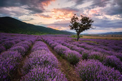 Lavender dawn royalty free stock images