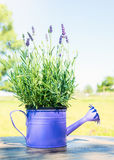 Lavender in decorative watering can on table Royalty Free Stock Images