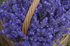 Lavender. In decorative wicker basket royalty free stock photos