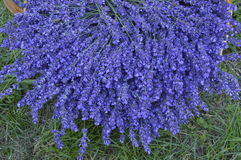 Lavender. In decorative wicker basket Royalty Free Stock Photo