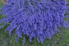 Lavender. In decorative wicker basket royalty free stock photo