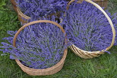 Lavender. In decorative wicker basket Stock Photos