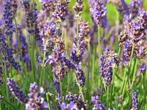Lavender detail Stock Photo