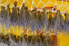 Lavender drying procedure Stock Photos