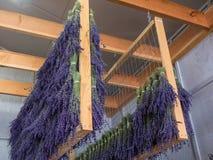 Lavender drying on racks Royalty Free Stock Photo