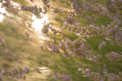 Lavender in early morning sun Stock Photography