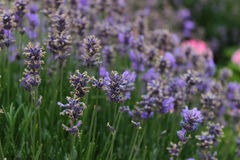 Lavender in English garden. Beautiful lavender in English garden Stock Photo