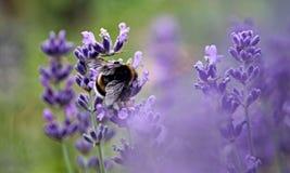Lavender, English Lavender, Purple, Flower royalty free stock photos