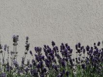 Lavender, English Lavender, Purple, Plant royalty free stock photography