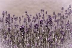 Lavender essence Royalty Free Stock Image