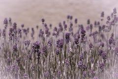 Lavender essence Royalty Free Stock Image