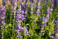 Lavender in evening Royalty Free Stock Photography