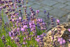 Lavender in the evening sun stock images
