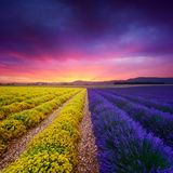 Lavender and everlasting field in Provence Stock Photos