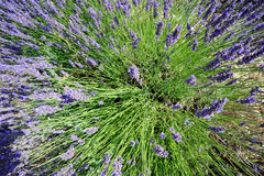Lavender explosion Stock Photo