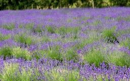 Lavender farm. royalty free stock image