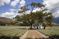 Lavender farm. Scenic white cottage on a lavender organic farm in the boland South Africa Royalty Free Stock Image