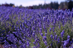Lavender farm Stock Photos