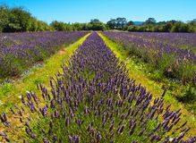 Lavender farm Royalty Free Stock Image