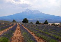 Lavender Farm Stock Images