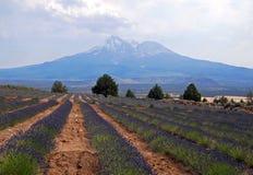 Lavender Farm Stock Images
