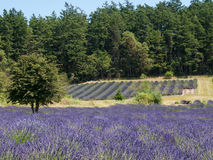 Lavender farm in bloom Royalty Free Stock Images