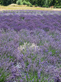 Lavender farm in bloom Stock Image