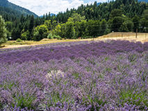 Lavender farm in bloom Stock Photos