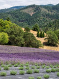 Lavender farm in bloom Stock Images