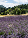 Lavender farm in bloom Stock Photo