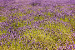 Lavender Farm, California Stock Image