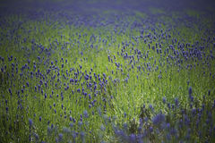 Lavender farm Stock Photography