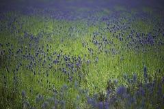 Lavender farm Stock Photography