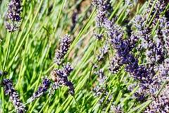 Lavender Farm, Mount Hood, Oregon. Close-up of Lavender Flowers near Mount Hood, just outside of Portland Oregon royalty free stock photo
